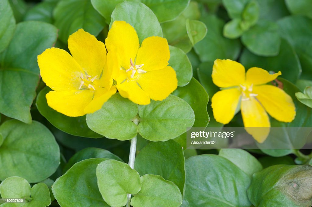 Lysimachia nummularia : Stock Photo