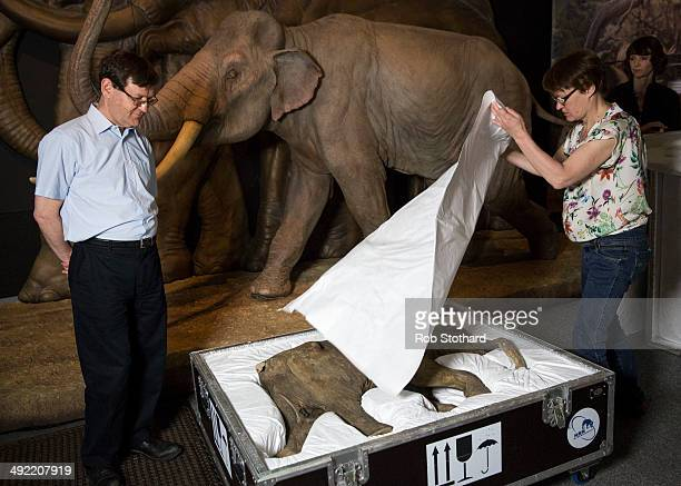 Lyuba the world's most complete mammoth is revealed by research leader Adrian Lister and Galina Karzanova from the Shemanovsky Museum in Russia upon...