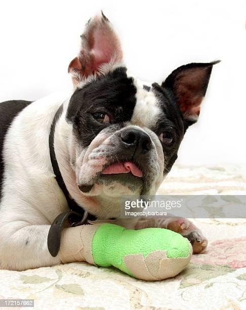 Estoy hurt.Dog con daño de la pierna.