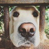 Dog behind fence, Golden Retriever