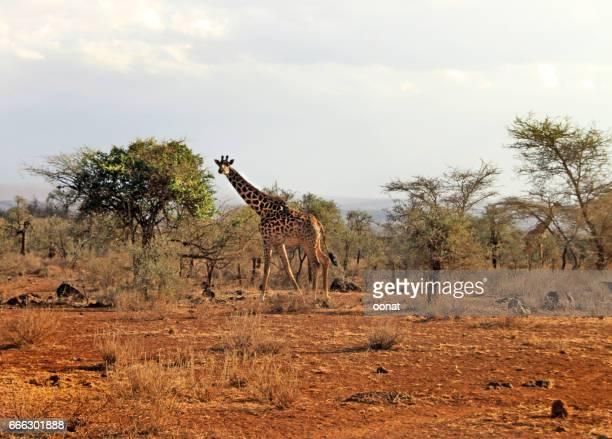 Maasai giraffe (Giraffa tippelskirchi)