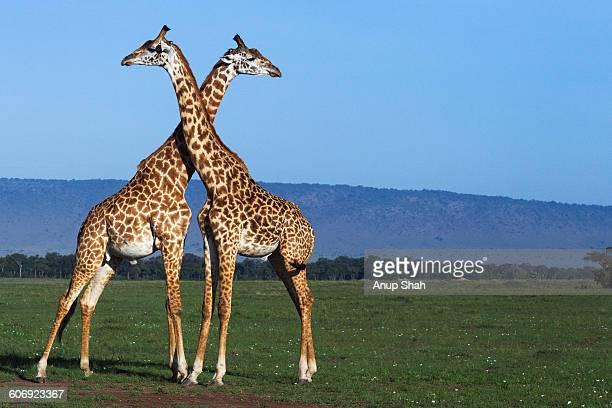 Maasai giraffes necking