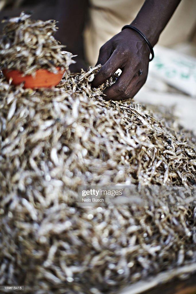 Maasai man picking up a handful of Kapenta fish : Stock Photo