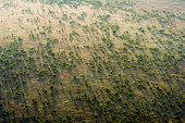An aerial view of an open acacia woodland dotting the vast short grass savannah plain at dawn.