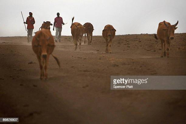 Maasai teens walk with their cattle in search of grassland to graze their herd on August 16 2009 in Kisaju Kenya As Kenya continues to suffer from a...