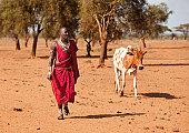Maasai warrior returning with cow.