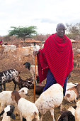 A Maasai in traditional red checked shuka haring his goats an early morning in a Maasai village. Coe dungs' huts and cattle in the background.  Porini, Amboseli, Kenya,