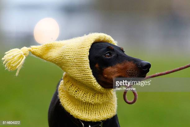 Mable the Manchester Terrier arrives with her owner on the first day of Crufts Dog Show on March 10 2016 in Birmingham England First held in 1891...