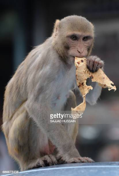 A macaque bites into bread as it sits on the roof of a parked car in the Indian capital New Delhi on May 22 2017 / AFP PHOTO / SAJJAD HUSSAIN