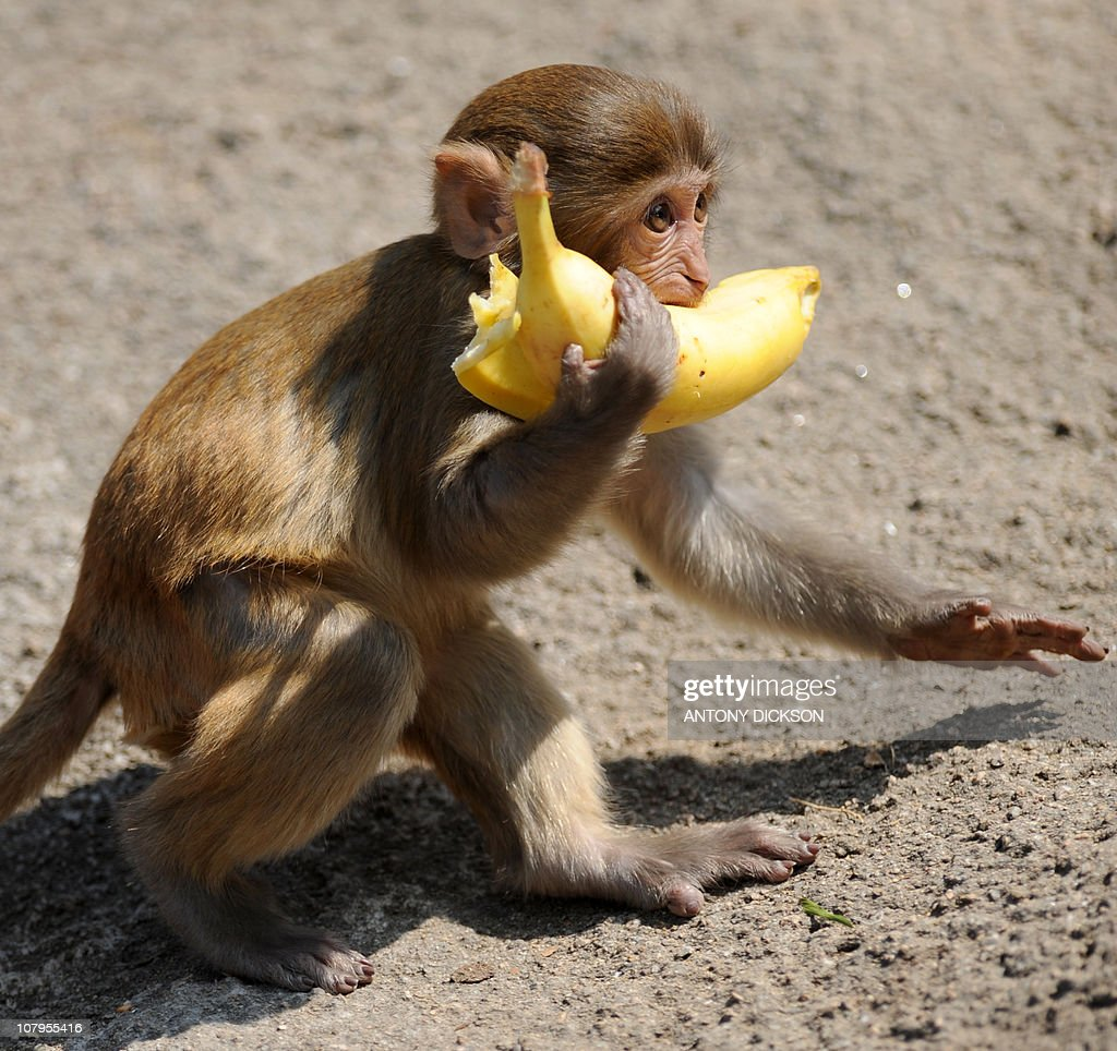 A macaque carries off a banana as it scavenges for food at a country park in Hong Kong on January 9 2011 Several groups of monkeys live in Kam Shan...