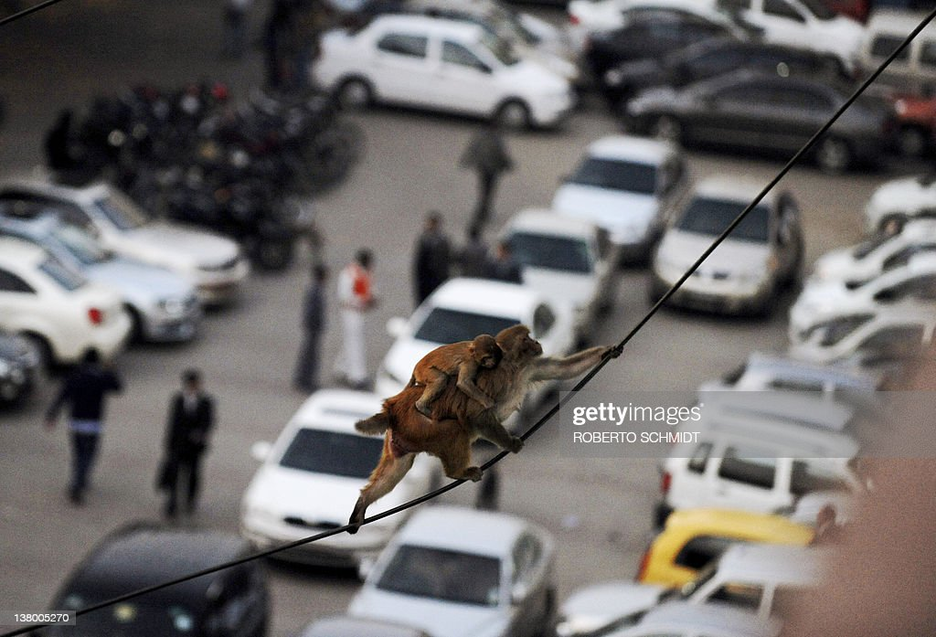 A macaque carrying a baby monkey over its back balances between two power lines above a parking lot in an office building in downtown New Delhi on...