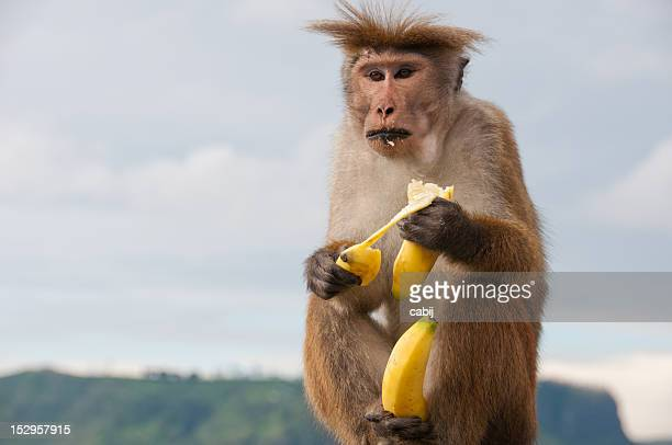Toque Macaque monkey eating a banana whilst holding another banana in it's feet, Sri Lanka