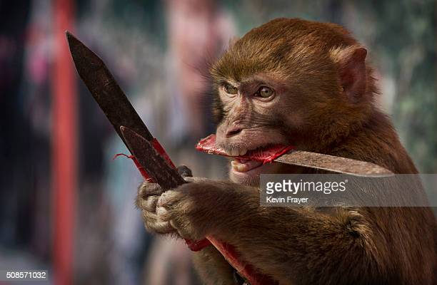 A macaque monkey catches knives as it works with a trainer at the Qilingang Monkey Farm on February 2 2016 in Baowan village Xinye county Henan...