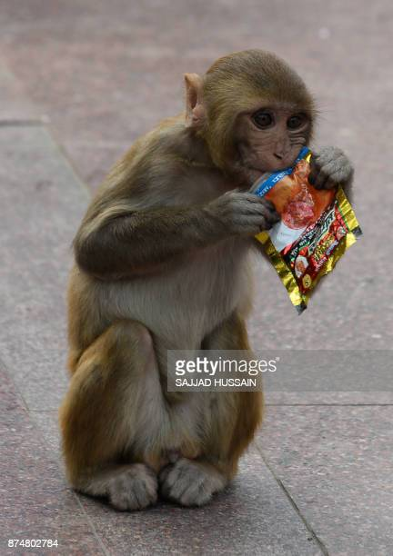 A macaque monkey eats a plastic bag outside a temple in New Delhi on November 16 2017 HUSSAIN