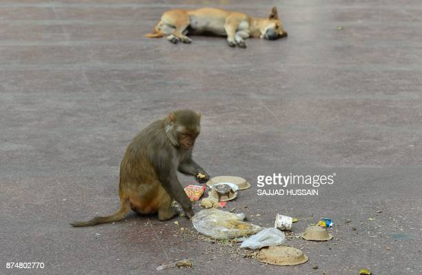 A macaque monkey eats left over food outside a temple in New Delhi on November 16 2017 HUSSAIN