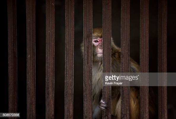 A macaque monkey is seen behind the bars of its cage at a monkey farm on February 3 2016 in Xinye county Henan province China The area boasts a...