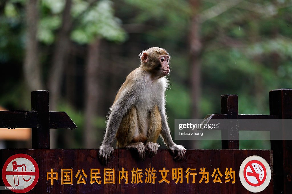 A macaque monkey plays in the Zhangjiajie national park on September 1, 2013 in Zhangjiajie, China. Zhangjiajie National Forest park is a popular tourist destination in the Hunan province, home to striking sandstone and quartz cliffs and famously known for renaming a peak after the mountain formations inspired the fictional world of 'Pandora' in James Cameron's film, 'Avatar'.
