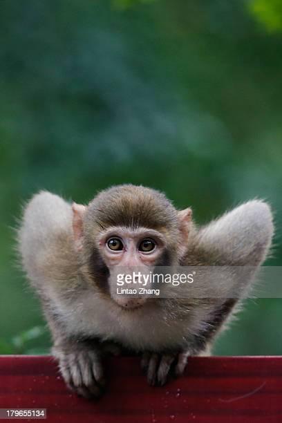 A macaque monkey plays in the Zhangjiajie national park on September 1 2013 in Zhangjiajie China Zhangjiajie National Forest park is a popular...