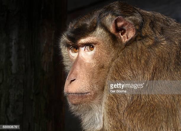 Macaque Wisdom