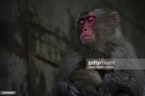 Macaque With Infant Outdoors