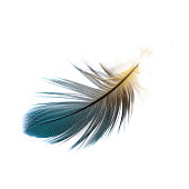 Macaw feather isolated on white background.