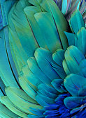 Macro photograph of a macaw's feathers (blue and green)