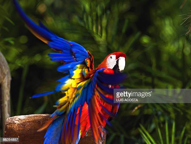 A macaw flaps its wings at Xcaret ecopark in Xcaret Mexico on June 5 2009 AFP PHOTO/Luis Acosta