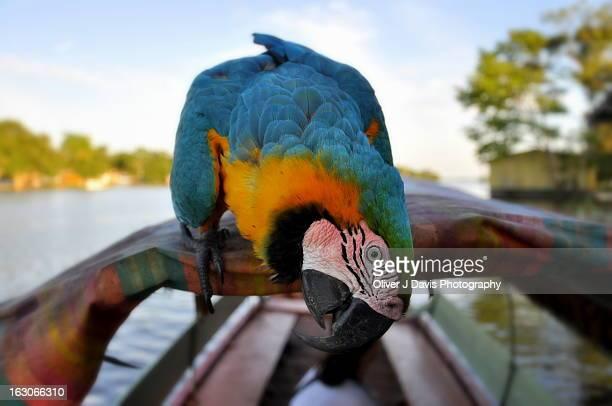 Macaw on Canoe on Amazon River