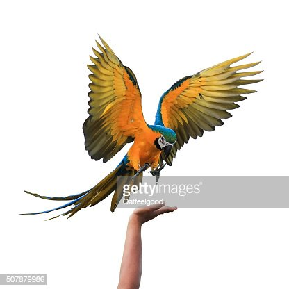Macaw Parrot isolated on white background with clipping path : Stock Photo
