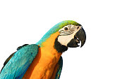 Macaw parrot with white background