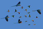 Macaw Parrots fly together as a group.