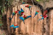 macaws in clay lick in the peruvian amazon jungle at Madre de Dios
