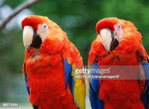 Macaws. Kushiro zoo, Hokkaido, Japan : Stock Photo