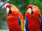 Macaws. Kushiro zoo, Hokkaido, Japan
