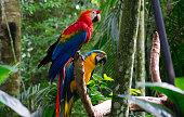 Maccaws at wildlife at Foz do Iguaçu city - Parana State, Brazil.