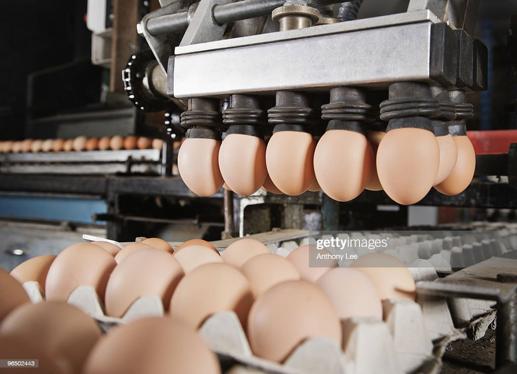 Machine inserting eggs into cartons : Stock Photo