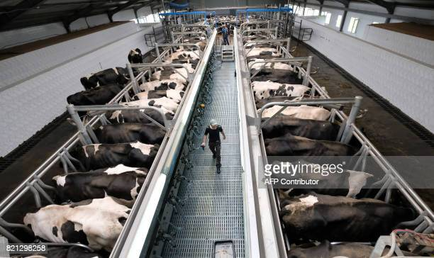 A machine milking operator walks along a row of milking units at a dairy farm in a village of Vvedenskoye outside Moscow on July 23 2017 / AFP PHOTO...