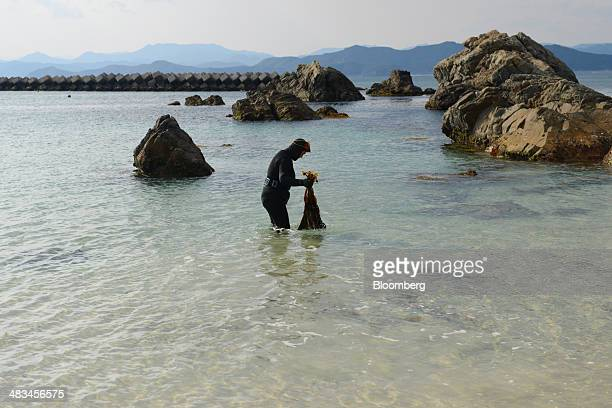 Machiyo Yamashita a female seadiver known as ama gathers wakame seaweed onto the shore in Shima Mie Prefecture Japan on Sunday March 9 2014...