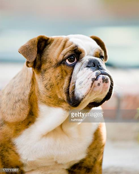 Portrait de macho Bulldog