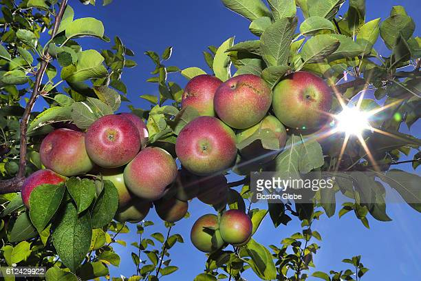 Macintosh apples hang on a tree under the bright noon soon at Russell Orchards in Ipswich Mass on Sept 13 2016 The orchard is dealing with one of the...