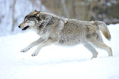 Mackenzie Valley Wolf, Alaskan Tundra Wolf or Canadian Timber Wolf -Canis lupus occidentalis-, young wolf jumping in the snow