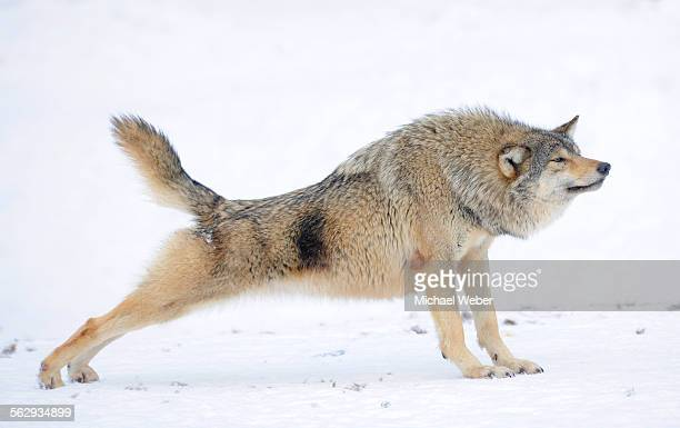 Mackenzie Valley Wolf, Alaskan Tundra Wolf or Canadian Timber Wolf -Canis lupus occidentalis-, wolf stretching in the snow