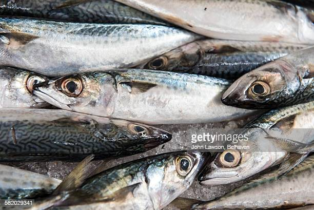 Mackerel fish on sale at a fish market
