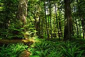 MacMillan Provincial Park - Cathedral Grove - Nanaimo - Vancouver Island - British Columbia - Canada