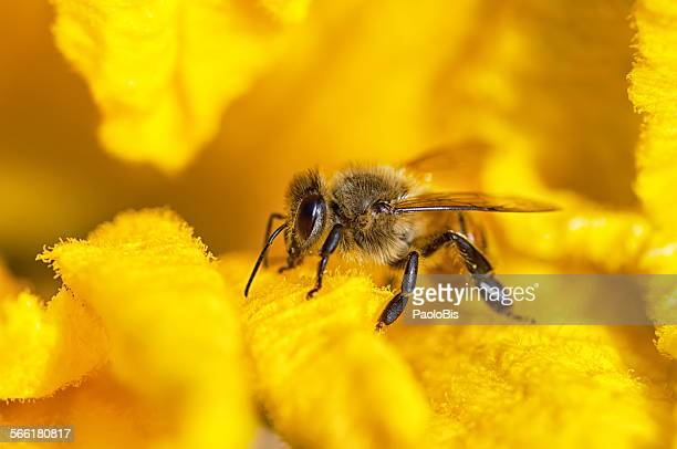 Macro close up of bee on yellow flower