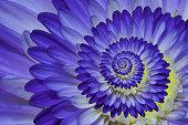 macro close up of purple dahlia
