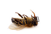 A macro close-up of a dead honey bee on a white background
