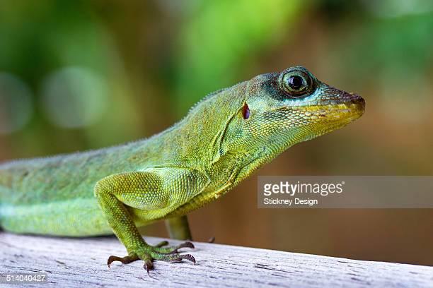 Macro closeup of anole lizard reptile in Tobago