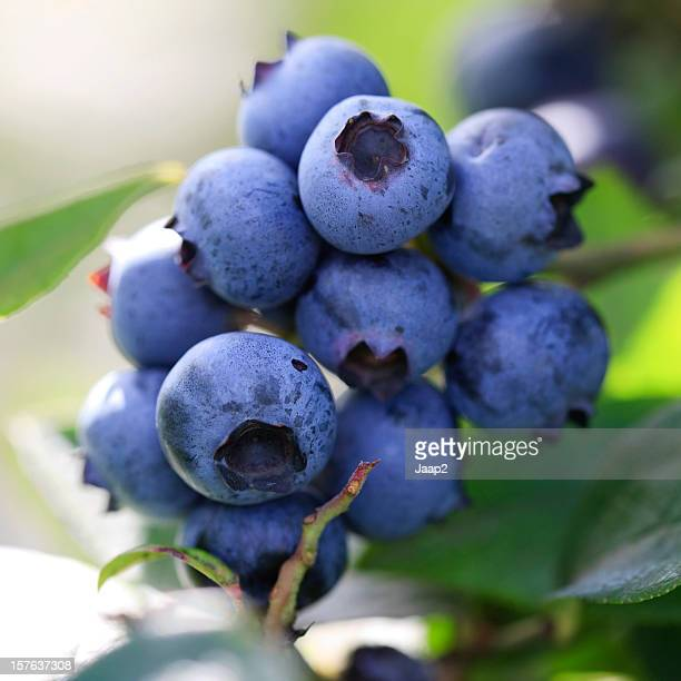 Macro close-up of blueberries on a branch, backlit