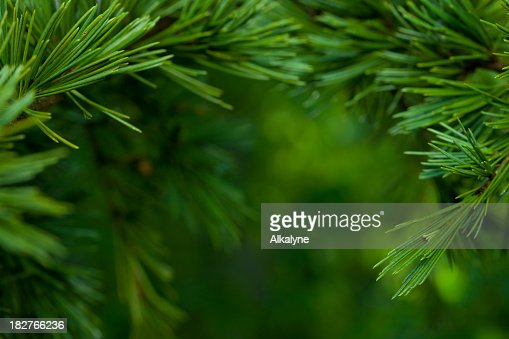 Macro close-up of bright green Fir tree branches